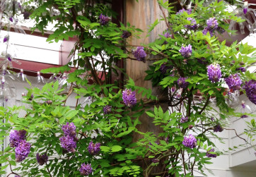 Detail of red arbor with wisteria in bloom